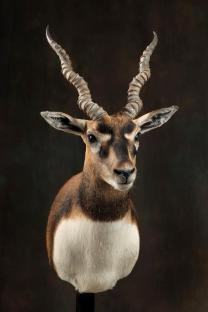 blackbuck-2