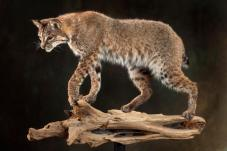 bobcat-on-log