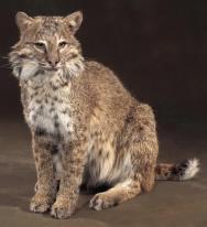 bobcat-squat
