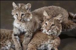 bobcats-close-up
