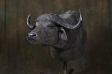 cape-buffalo