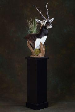 colton-blackbuck