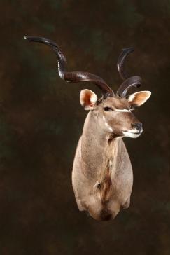 kudu-2
