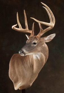 whitetail-turning-right